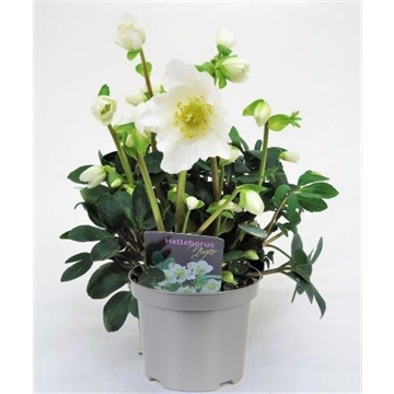 Helleborus Niger Happy Day P15