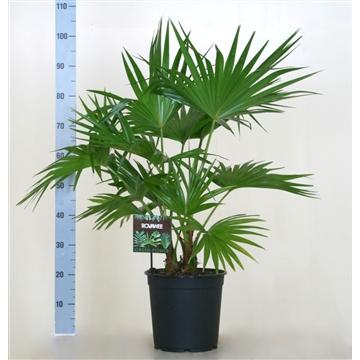 Livistonia rotundifolia