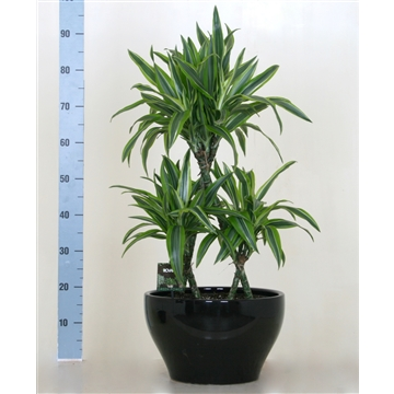 Dracaena Lemon Lime triangel in