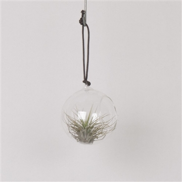 Glass Bowl with Tillandsia