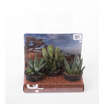 3- pieces Succulent mix in Gift box