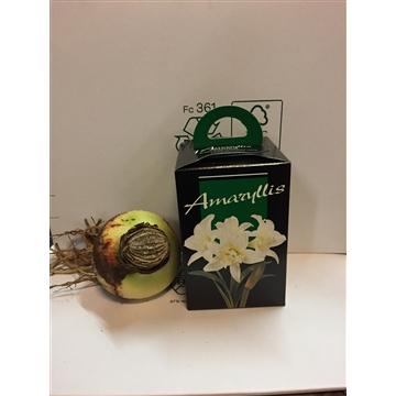 Kerst geschenk amaryllisbol in kadoverpakking
