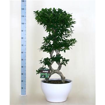 Ficus microcarpa 8-type in keramiek rond wit