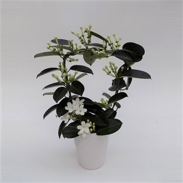 Stephanotis Fleur Parfum 7-8 in Ker. Sisi