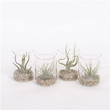 Mini Glass with Tillandsia
