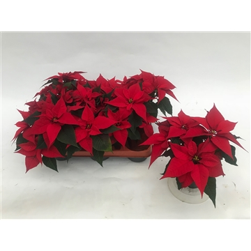 Poinsettia Christmas Feelings