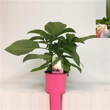 MoreLIPS® Brugmansia bush pink