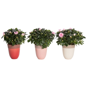 You & Me - Azalea 12 cm Roze in pot Britt