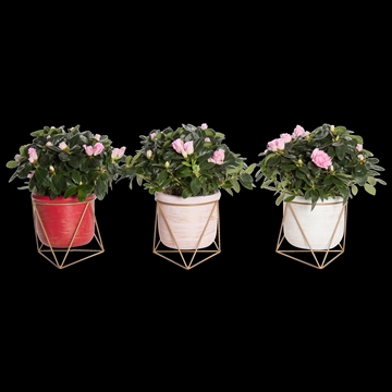 You & Me - Azalea 12 cm roze in pot Lotte