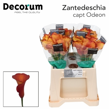 ZANT CAPT ODEON Decorum