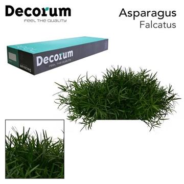 ASP falcatus 45cm box dc (200)
