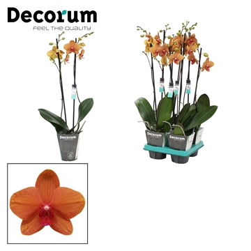 Phalaenopsis 2-tak Egyption 60 cm R1-2