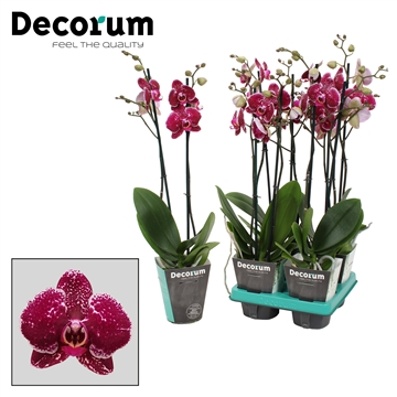 Phalaenopsis 2-Tak Eduction 60cm R1-2
