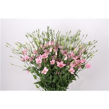 Lisianthus Botanic pink