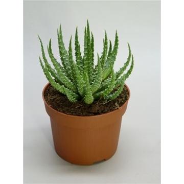 Aloe humilis 2+