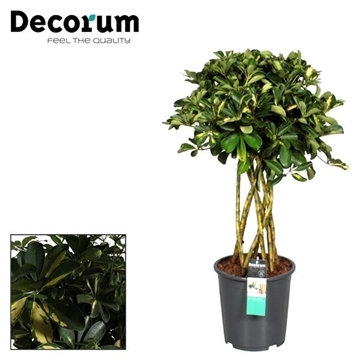Schefflera Gold Capella koker (Decorum)