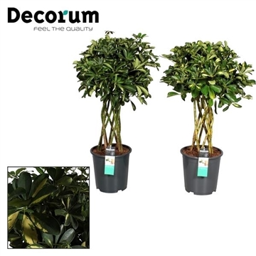 Schefflera koker mix (Gold Capella & Compacta Nora) (Decorum)