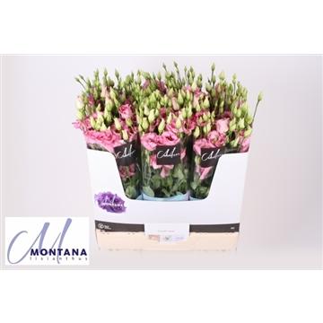 Lisianthus Corelli rose