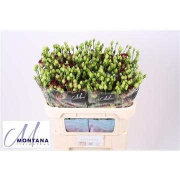 Lisianthus rosanne deep brown