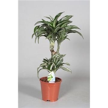 Drac Jade Jewel 30-10 cm stam (Decorum)