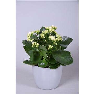Kalanchoe bloss. gevuld Calandiva mix in lichtgrijs keramiek