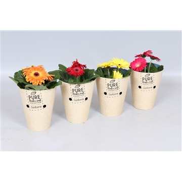 Gerbera PURE COLLECTION Cup 9