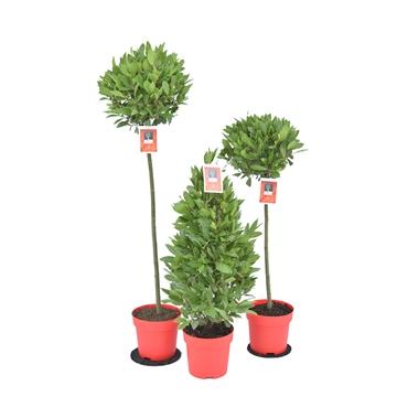 Mix Laurus nobilis P20 kerst Vaste samenstelling