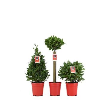 Mix Laurus nobilis P20 Kerst