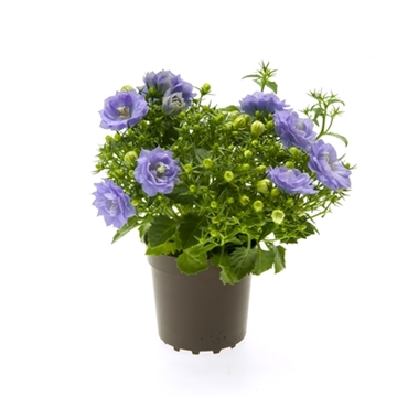 Campanula Blue Like MEE®