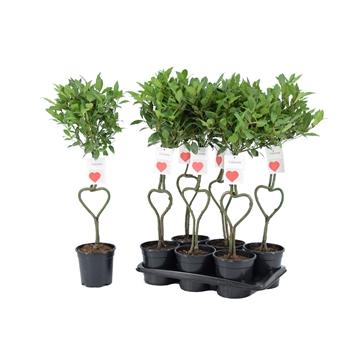 Laurus nobilis Hartvormige stam
