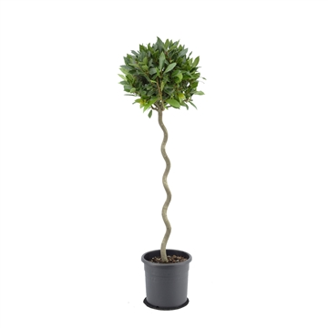Laurus nobilis Spiraal stam.
