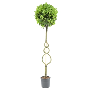 Laurus nobilis Triple ring