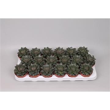 Echeveria Purpurea