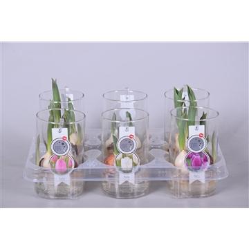 MoreLIPS® Tulp in cilinderglas