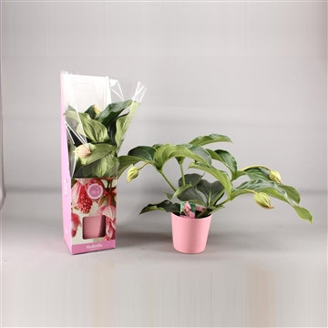 MoreLIPS® Medinilla magnifica in giftbox + ceramic