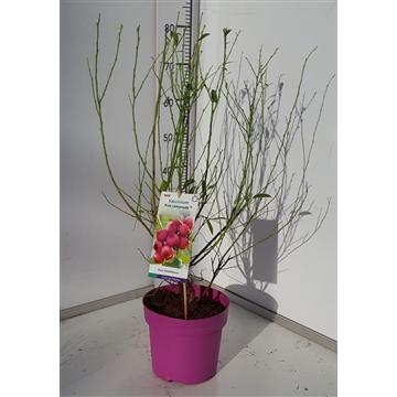 Vaccinium cor. 'Pink Lemonade' (R) 40-60C5