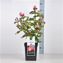Artikel #293003 (510537230000: Rosa (TH) Aachener Dom ® (Pink Panther), C5)