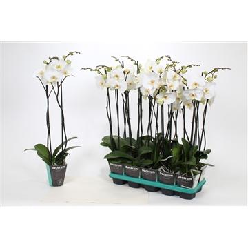 Phalaenopsis 2-Tak Convention 75 R2-3