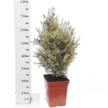 Buxus sempervirens 'Elegans' 50-55cm struik