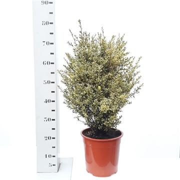 Buxus sempervirens 'Elegans' 50-60cm struik