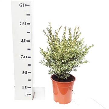 Buxus sempervirens 'Elegans' 30-35cm struik