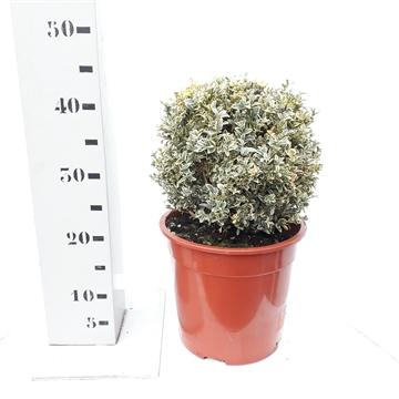 Buxus sempervirens 'Elegans' 25cm bol