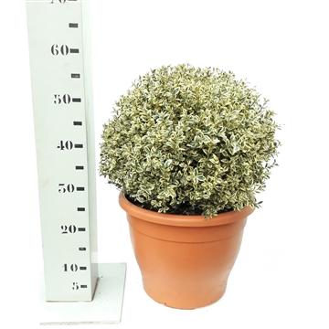 Buxus sempervirens 'Elegans' 35-40cm bol