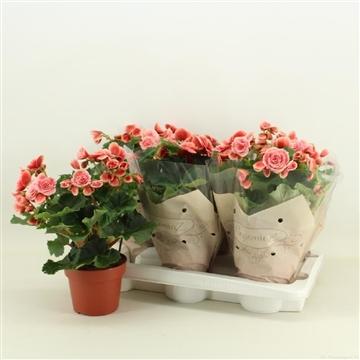 Begonia dubbelbloemig Borias