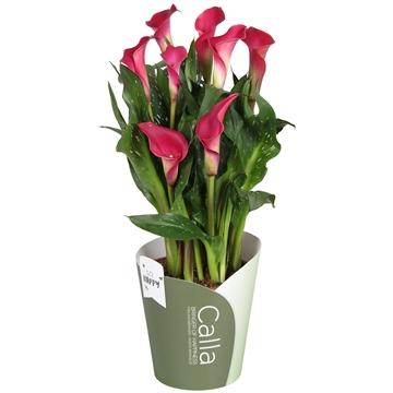 Zantedeschia Callafornia Red #sohappycalla potcover groen
