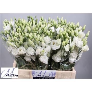 Lisianthus Rosita white 60cm
