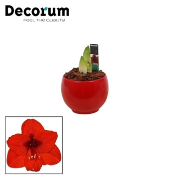 Hippeastrum Mix 2 Knop in Ompot Melanie (Decorum)