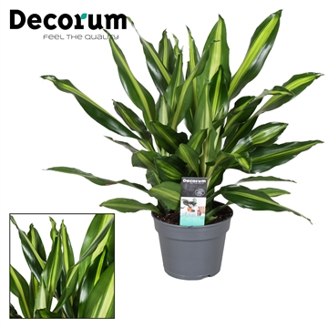 Dracaena Fragrans Cintho 3 koptstek ROYAL OFFER