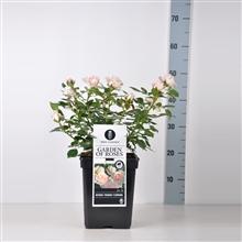 Artikel #296644 (520552080000: Rosa (F) Garden of Roses ® , C5)