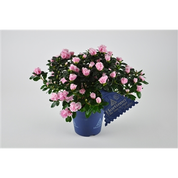 "Azalea indica ""Classic Bicolor"" - Bont"